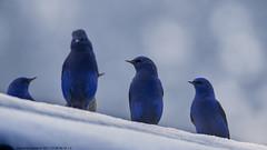 Grandala (by Sumanta Pramanick) Tags: grandala grandalamale highaltitudebirds northsikkim lachenoutskirts lachenvillage thanguvillage