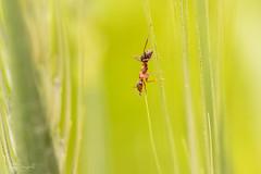 Alone (JDanyaloff) Tags: ant green macro macroworld nikon d610 summer tokina 100mm insect