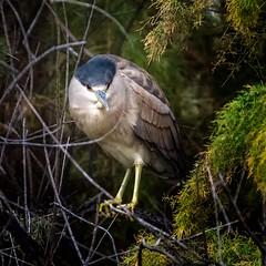 Scram... (Portraying Life, LLC) Tags: unitedstates sweetwaterwetlands heron handheld nativelighting arizona tucson wild