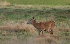 Red-Deer-0084 (Kulama) Tags: reddeer deer nature wildlife woods bracken fern animals canon7d sigma150600563c