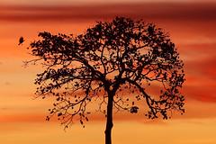Pôr-do-Sol em Canãa dos Carajás, Pará, Brasil (Ricardo_ Lima) Tags: canãa carajás pordosol céu vermelho nuvens sunset amazon region skye twilight dramatic bird pouso castanheira galhos natureza nature tree dusk l´amazonie