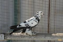 26. Caucasian doves / Голуби Кавказские