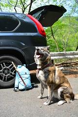 ready to go (dog's age) Tags: dog mountain trekking fly mutt mix stream flickr hiking hike flyfishing trout akita brindledog brindleakita