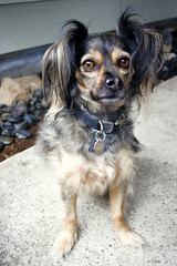 Sitting Pretty (MDawny72) Tags: summer dog pet chihuahua cute loving mutt sweet adorable handsome july cargo summertime adopted mylove loyal 2015 itsadogslife myphotography pomchi myhappyplace chipom