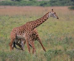 Tears before breakfast! (Rainbirder) Tags: kenya giraffacamelopardalistippelskirchi masaigiraffe nairobinationalpark rainbirder