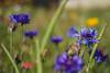 Série Fleur 2015 - 6 (Macsous) Tags: alpes lyon fleur fleurs flower flowers gazon herbe herbes japonais jardin jaune mauvaise rhone solaize tige verdoyant vert