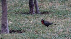 Loica (eL Lero) Tags: naturaleza nature birds aves loica avesdechile sturnellaloycaloyca