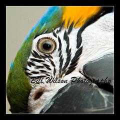 Macaw (wildlifephotonj) Tags: bird birds parrot macaw parrots macaws blueandgoldmacaw naturephotos wildlifephotography wildlifephotos natureprints