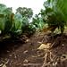 Harvesting season in Nyando climate-smart villages