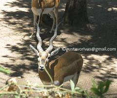 Gacela de Thomson 02 (grivas2k) Tags: animal mammal gazelle gacela mamifero thomsons gaceladethomson