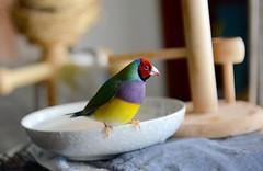 DSC_7851 (Jenny Yang) Tags: pet bird lady finch gouldian