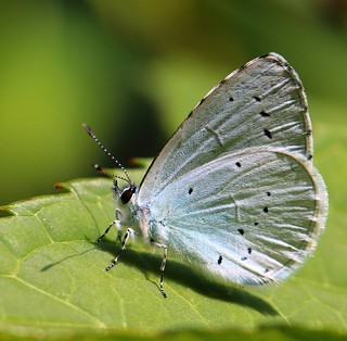 Holy Blue Butterfly