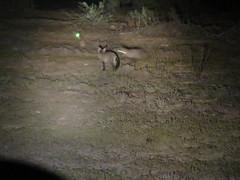Bat-eared Fox and Spring Hares... (benyeuda) Tags: mammals wildlife animals wildanimals pedetescapensis otocyonmegalotis mountainzebra mountainzebranationalpark nationalpark southafrica africa