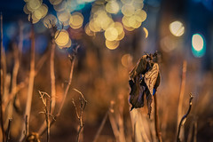 Cold winter night - Part 3 (soomness) Tags: lights light bokeh bokehlicious night nightphotography lowlight sony zeiss a7m2 a7ii aonya7ii sonya7m2 sonnar5518za carlzeiss nature leaves leaf colors winter 2017 sparkling
