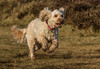 Focused, fast and ....... muddy ! (DP the snapper) Tags: dog cockapoo running turbo animals brownclee fast