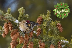 Redpoll Christmas DSC_0868 (Ron Kube Photography) Tags: