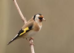 Goldfinch-1583 (Kulama) Tags: goldfinch birds nature wildlife woods bush winter westsussex canon7dmarkii sigma150600563c
