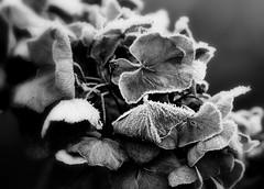 Die Blumen des Frühlings.... (SpitMcGee) Tags: khalilgibtan hortensie sommer winter schwarzweis monochrom frost eiskristalle macro inmeinemgarten spitmcgee explore 83