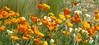 Eschscholzia (1) 13-05-2016 (Padski1945) Tags: rhsgardens rhshydehall rettendon essex essexgardens essexscenes flower flowers flora eschscholzia californianpoppy