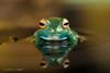 Look into my eyes! (Linda Martin Photography) Tags: dorset madagascangreentreefrog boophisluteus wildlife frogworkshop uk nature frog tree green coth ngc naturethroughthelens coth5 npc