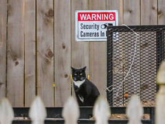 I am Security (Gabriel FW Koch) Tags: animal tuxedo cat feline outdoor outside wathing watching blackandwhite face whiskers ears canon telephoto
