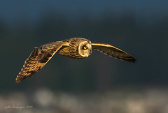 Short eared Owl in flight (Peter Bangayan) Tags: raptors wildlife wilidlife nature owl shortearedowl stanwoodwa washington birdsofprey bird birds