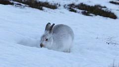 Mountain Hare (Ally.Kemp) Tags: mountain hare hares video footage film scottish scotland wild winter wildlife lepus timidus snow white coat