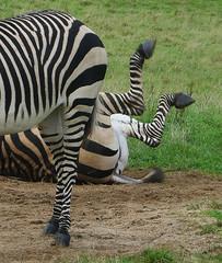 silly! (StJohn Smith1) Tags: closeups equines zebras animal behaviour marwell zoos