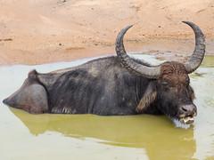 PB094907 Water buffalo.jpg (JorunT) Tags: rundreise vannbøffel srilanka 2016 bubalusbubalis yala nasjonalpark