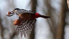 _I5U8999 (carlo612001) Tags: bird birds picchio picchiorossomaggiore woodpecker redwoodpecker nut wings fast speed wood bosco wildlife
