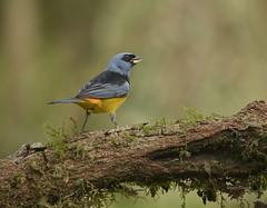 Naranjero    Blue and Yellow Tanager (gutierrezrubenj) Tags: birds birdwatching americanbirds tanager wildlife naturephotography nature naturaleza nikon nikkor200500f56eedafsvr d7100 thraupis bonariensis