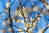 Plum flower. Nantou, Taiwan (老莫之影 (Morris)) Tags: 梅花 plumflower taiwan nikon 南投縣政府警察局 南投縣議會 d7100 red flower nature