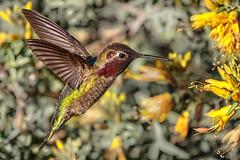 A moment of hesitation (bodro) Tags: annas bolsachica hummingbird bird birdinflight ecologicalreserve frozeninflight male wetlands yellowflower