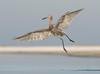 Contrails (PeterBrannon) Tags: bird egrettarufescens florida hunting nature pose reddishegret sarasotacounty water wildlife midair ocean