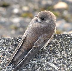 Sand Martin (Peanut1371) Tags: sandmartin martin bird brown nationalgeographicwildlife