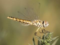 Selysiothemis nigra ♀ (fturmog) Tags: fauna odonats odonátos odonata libélulas libèl·lules dragonflies montoliudelleida