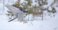 Locked on (MatsOnni) Tags: kanahaukka accipitergentilis northerngoshawk raptors birds linnut petolinnut haukat hawks