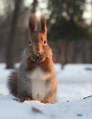 DSC_1707 (anla0070) Tags: squirrel elagin saint petersburg winter park snow