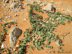 Desert Squash (tinlight7) Tags: squash plant desertsquash desert sand mleiha sharjah uae colocynth taxonomy:kingdom=plantae plantae taxonomy:clade=tracheophyta tracheophyta taxonomy:phylum=magnoliophyta magnoliophyta taxonomy:class=magnoliopsida magnoliopsida taxonomy:order=cucurbitales cucurbitales taxonomy:family=cucurbitaceae cucurbitaceae taxonomy:genus=citrullus citrullus taxonomy:species=colocynthis taxonomy:binomial=citrulluscolocynthis אבטיחהפקועה citrulluscolocynthis coloquíntida taxonomy:common=אבטיחהפקועה taxonomy:common=coloquíntida taxonomy:common=colocynth