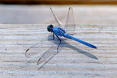 Great Blue Skimmer Dragonfly (Jim Atkins Sr) Tags: insect nc dragonfly outdoor northcarolina greatblueskimmer cravencounty fairfieldharbour