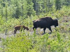 (AmyIrie) Tags: park wood june cow buffalo northwest salt nwt national alberta plains northern calf bison territories 2015
