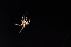 Webster (Rosario Liberti) Tags: macro spider