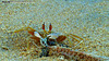 Nandu (kugendiranmahinthan) Tags: nature animal eating nandu kadal sirunandu