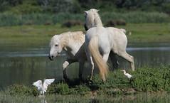 IMMINENTE (lincerosso) Tags: horses birds uccelli cavalli palude bellezza bubulcusibis rituale armonia scontro comportamento etologia isoladellacona aironiguardabuoi cavallicamargue