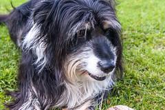rosie (pamelaadam) Tags: family summer dog animal digital scotland collie aberdeenshire rosie august fotolog insch 2013 thebiggestgroup