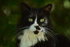 Humbug (Vinyonga) Tags: boy summer blackandwhite bw white black cute male green cat bush feline bokeh adorable fluffy whiskers greeneyes yelloweyes felid