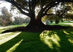 Great Tree Presence (mikecogh) Tags: tree big shadows hackney moretonbayfig botanicpark