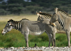 Melancholia! (Rainbirder) Tags: kenya samburu grevyszebra equusgrevyi rainbirder