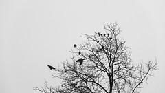 Nr.211 (Silvan Erne) Tags: bleak crow landscape tree blackandwhite silouettes fujifilm xt1