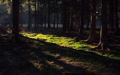 Forest Green (Netsrak (on/off)) Tags: wald forst forest woods tree trees baum bäume moos moss badmünstereifel nordrheinwestfalen deutschland de light shadow licht schatten winter